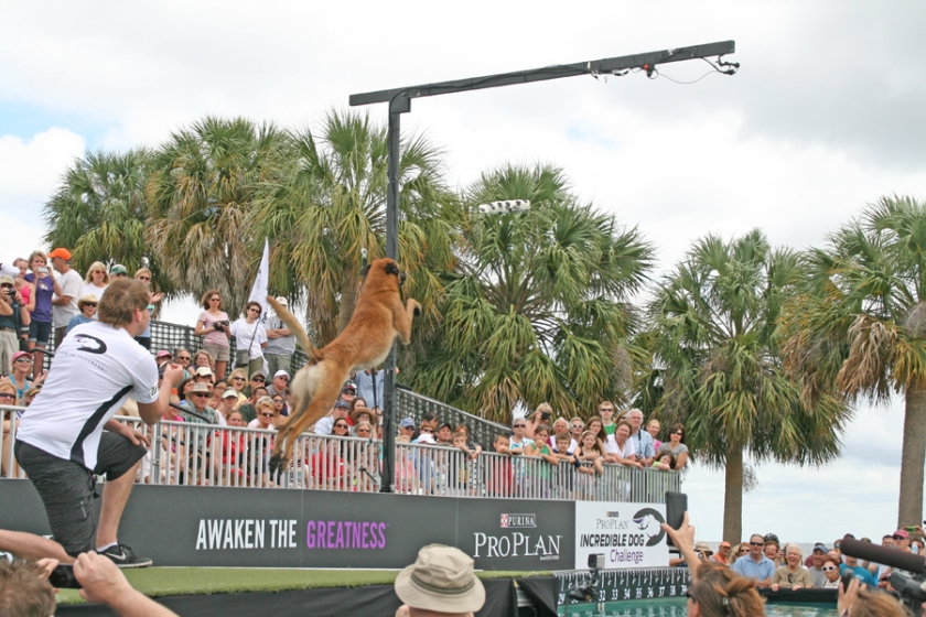 Baxter, a two-year-old Belgian Malinois broke records during the dog diving competition. Photograph by Anna Cooke for The New Barker Dog Magazine.
