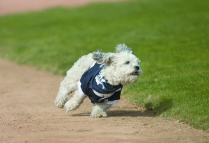 Hank, mascot for MLB's Milwaukee Brewers, running the bases.