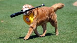 Chase, the official bat dog for the Trenton Thunder.