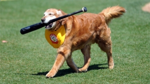 Chase, the official bat dog for the Trenton Thunder.