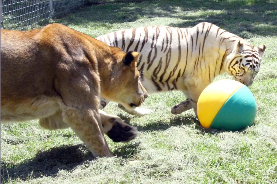 cameron-the-lion-zabu-the-tiger-with-a-ball