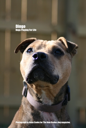 Dingo_Tag_Two